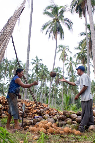 Coconut Gathering