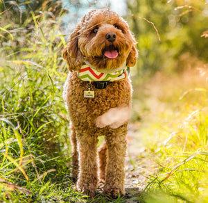 Cavapoo in dog scarf from Eco Pup. Photo by Aspired