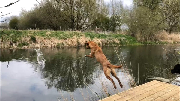 a labrador jumping into water