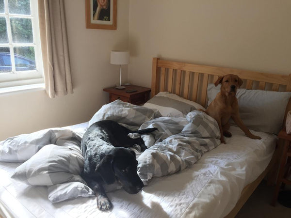 A labrador and springador in bed