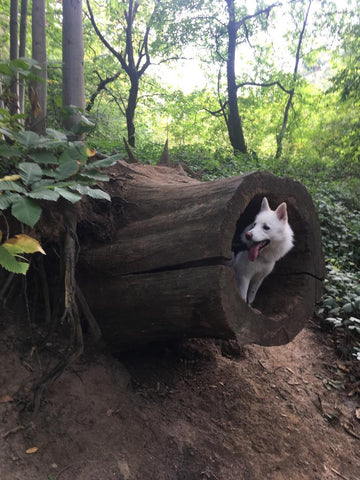 pomsky in a tree trunk