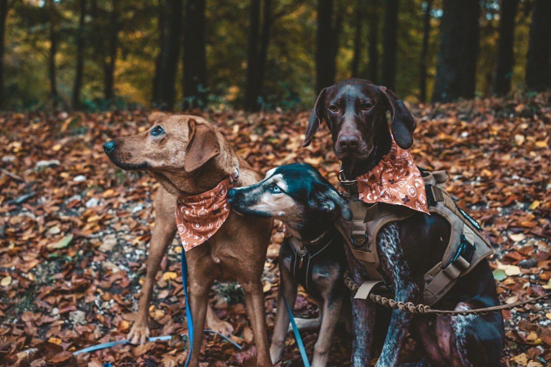 A pointer and two rescue dogs outside