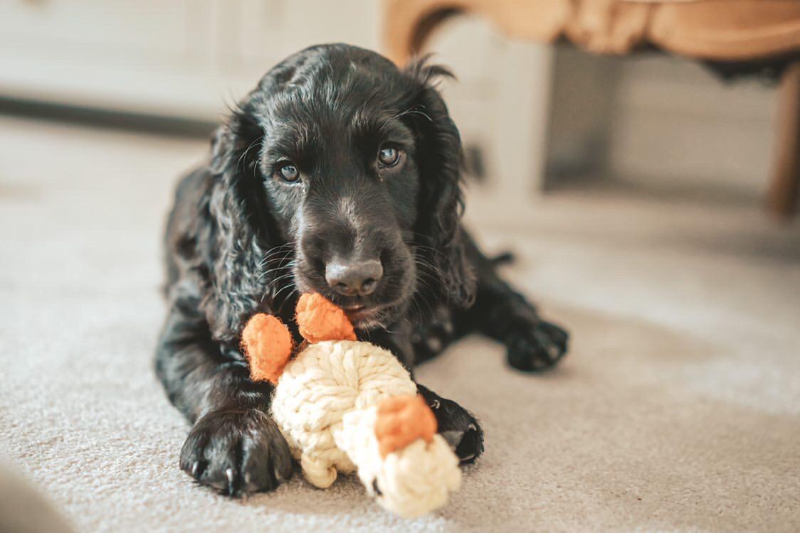 Puppy chewing toy at home