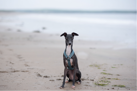 cork dog harness for plastic free july