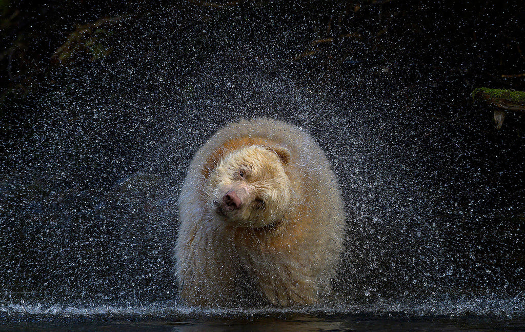 Michelle Valberg Spirit Bear Kermode Bear shaking water