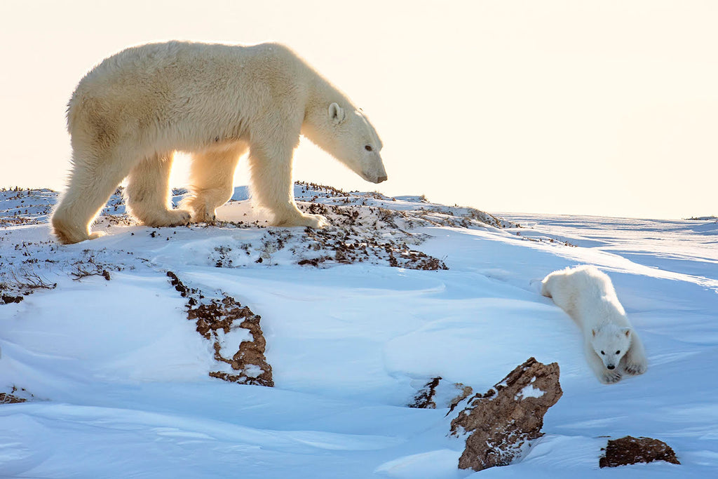 Michelle Valberg polar bear and polar bear cub on snow sliding