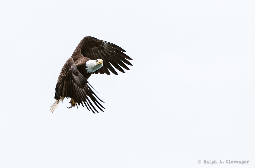 Ralph Clevenger bald eagle in flight flapping wings