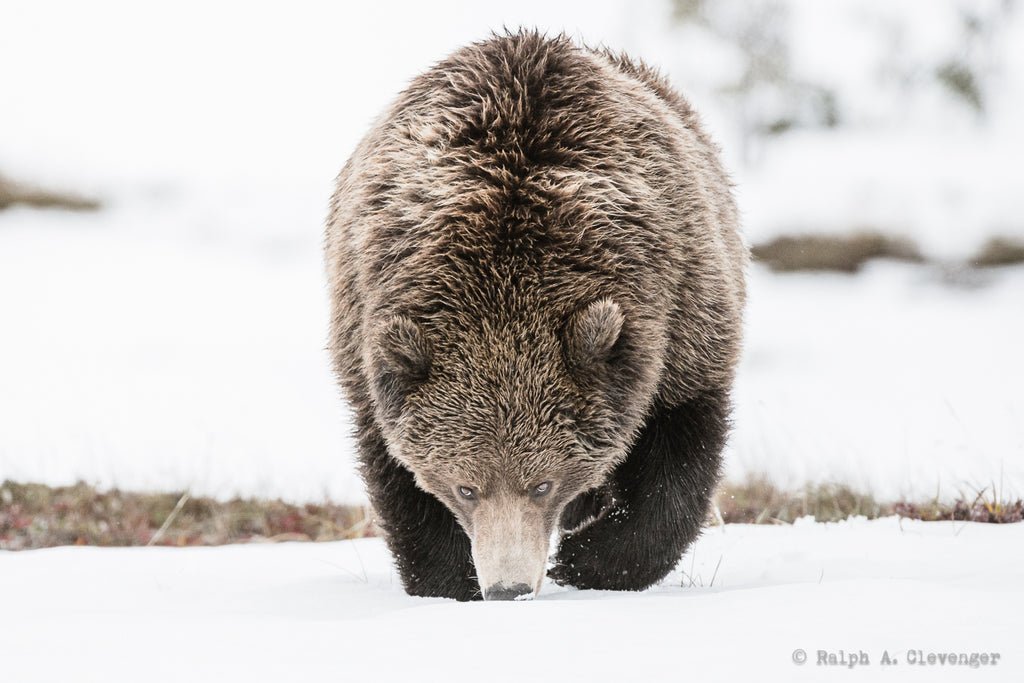 Ralph Clevenger bear walking in snow brown bear black bear grizzly bear nose to ground
