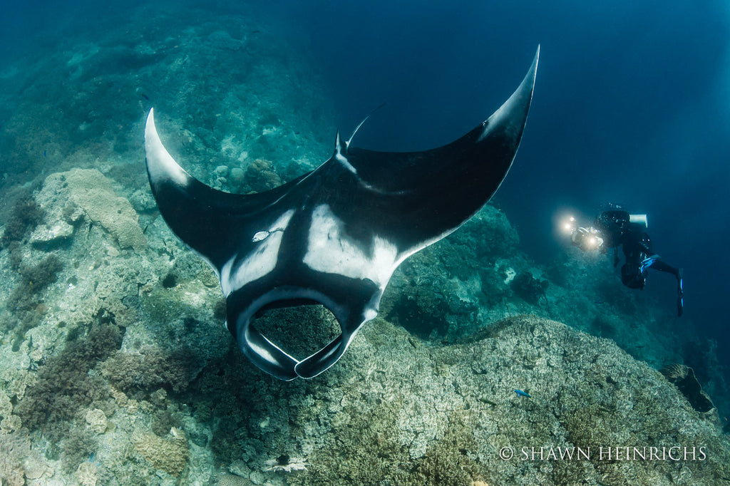 Shawn Heinrichs manta ray and SCUBA diver with lights