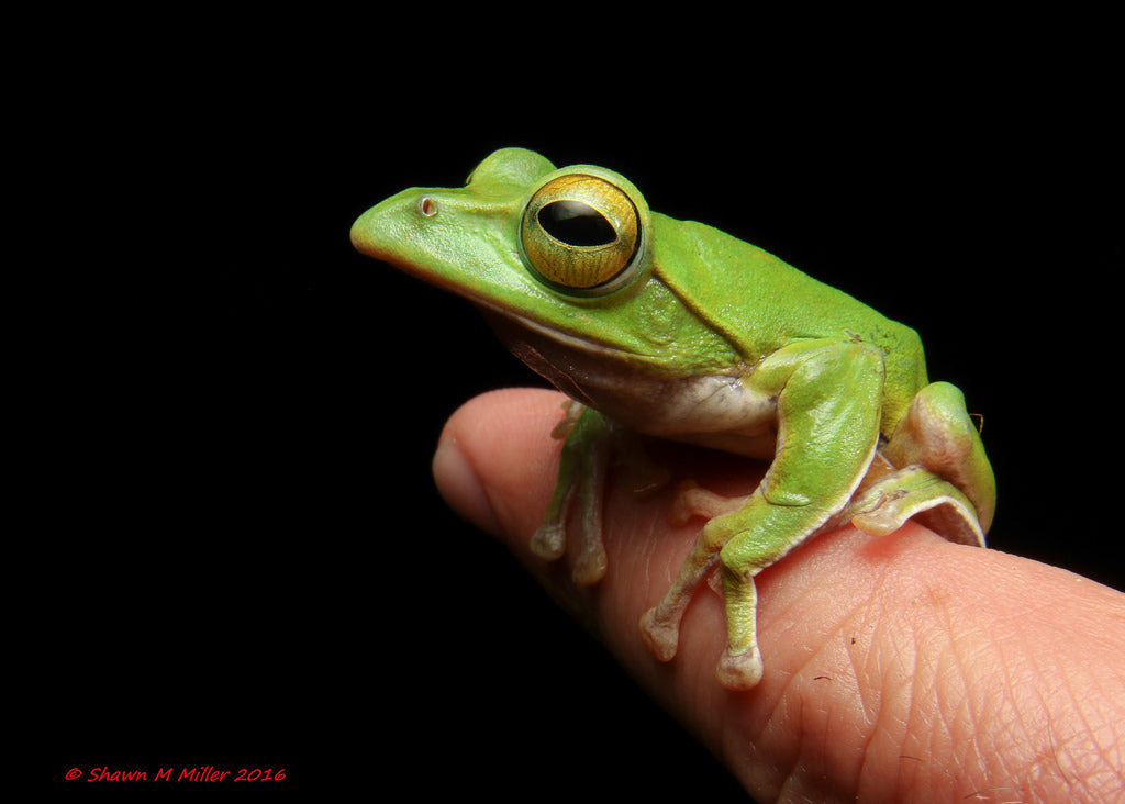 Shawn Miller small green frog