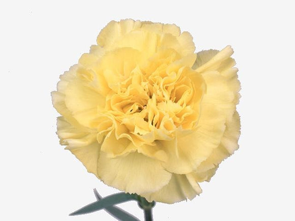Carnation Single Yellow