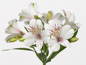 Alstroemeria Mixed White