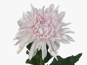 Chrysanthemum Single Pink
