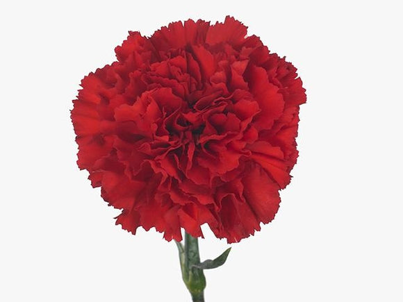 Carnation Single Red