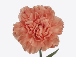 Carnation Single Orange