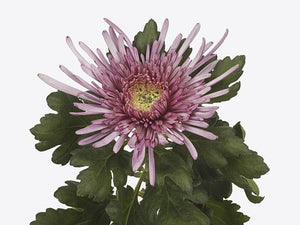 Chrysanthemum Single Purple