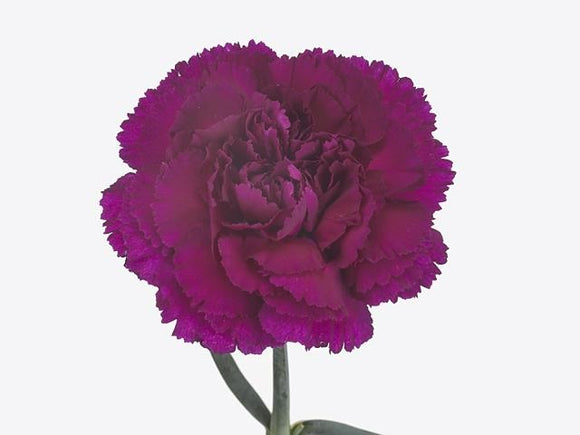 Carnation Single Purple