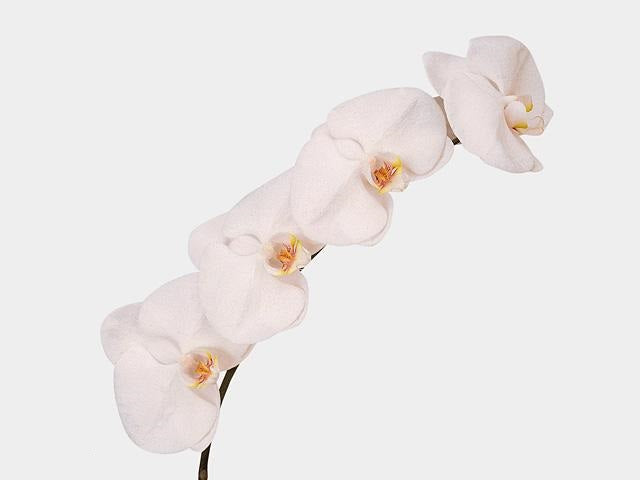 Phalaenopsis Cut Flower White