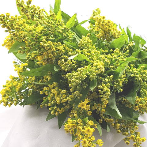 Solidago Aster - 10 stems