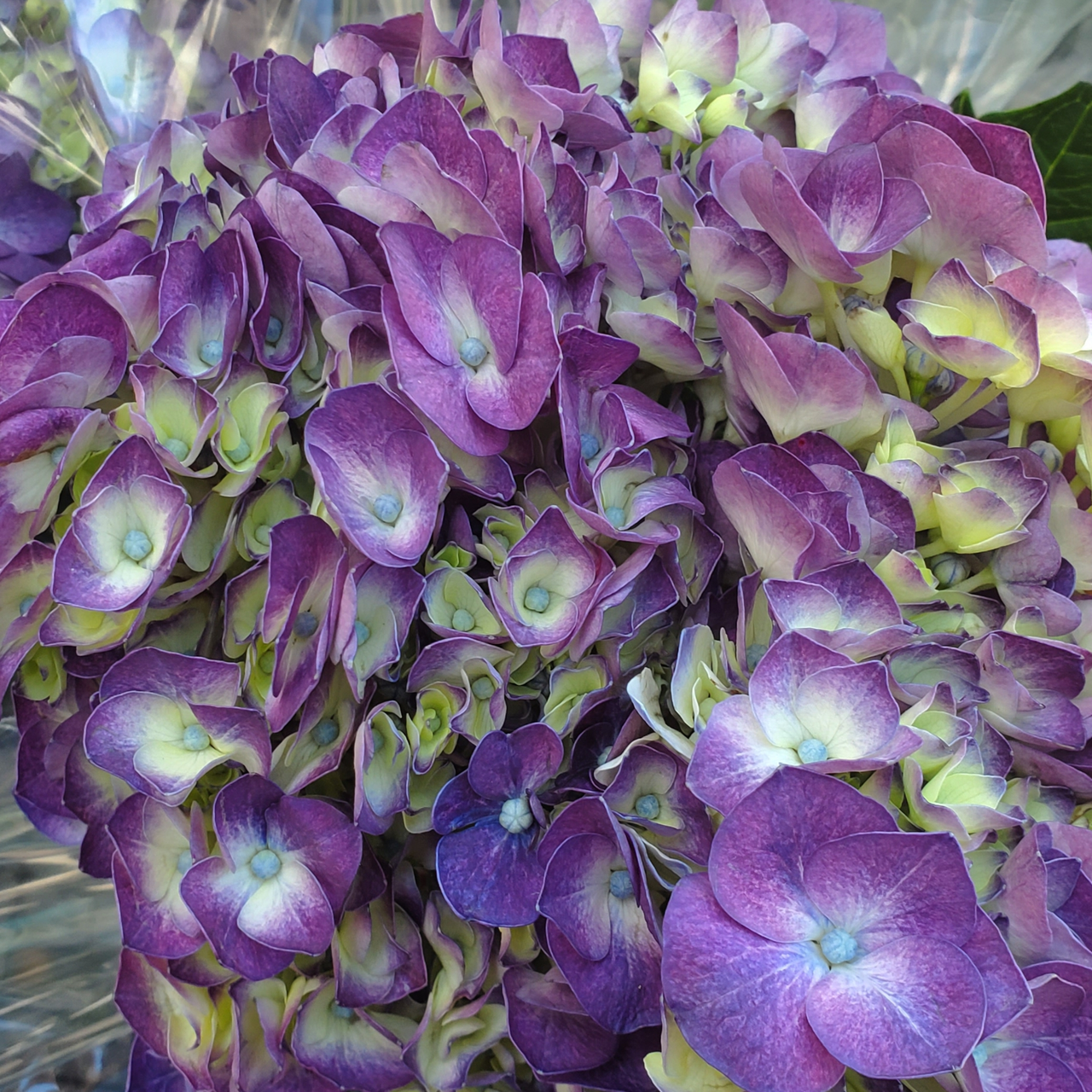 Hydrangea Dutch Purple - 5 Stems