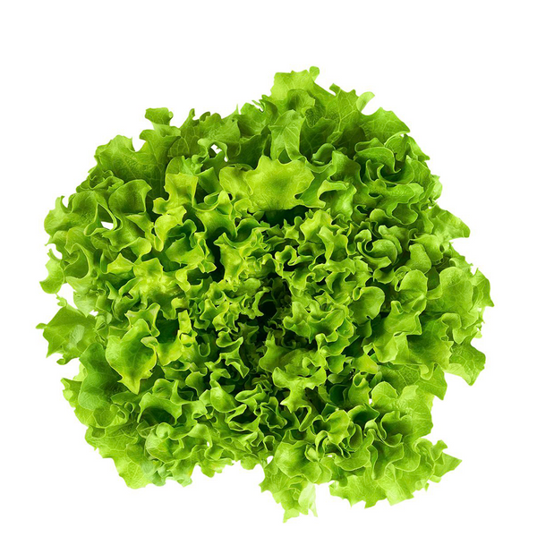 LETTUCE RED OR GREEN ORGANIC