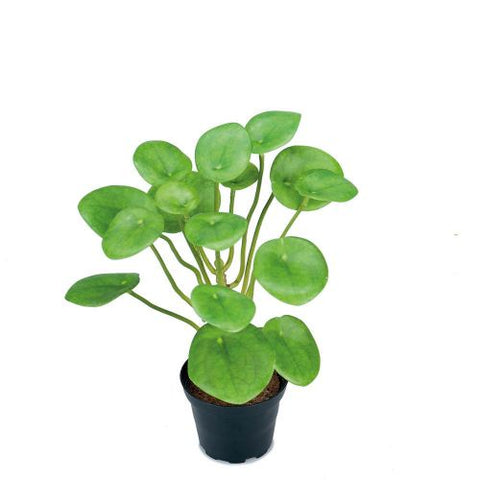 Chinese Money Plant in Pot