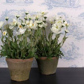 White Cosmos in Pot - 32cm - Susan Clark Interiors