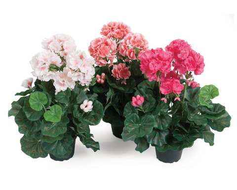 Geranium in Pot - Susan Clark Interiors