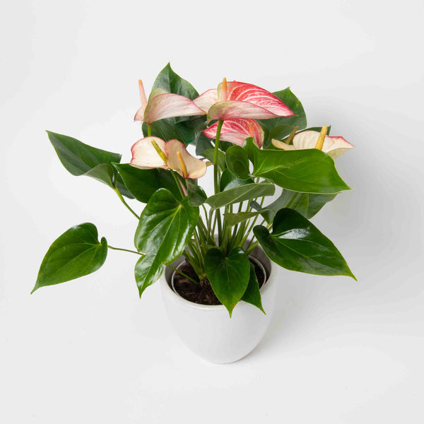 Variegated Pink & White Anthurium Plant