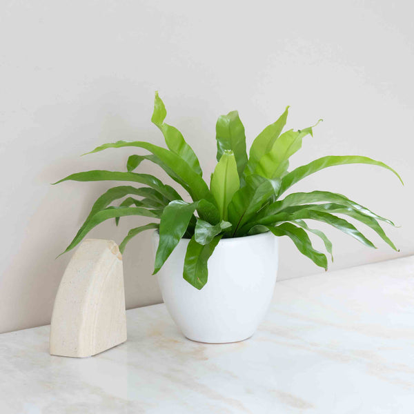Bird's Nest Fern Plant
