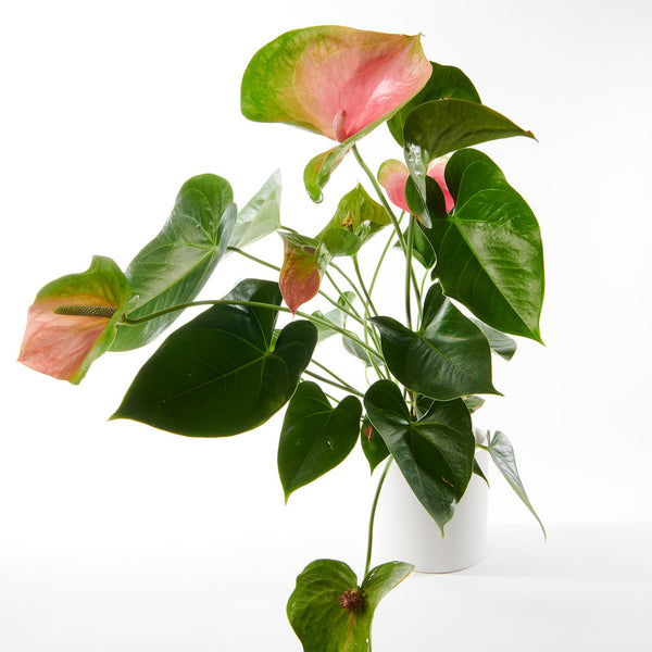 Blush Anthurium Plant