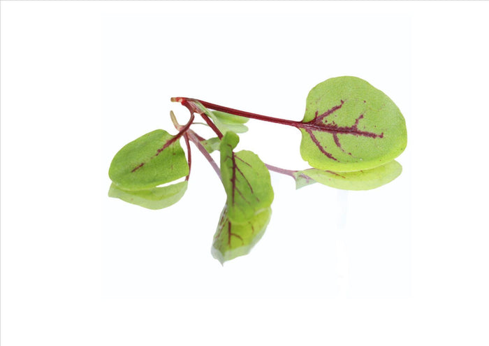 Micro Red Vein Sorrel (Pnt 30G)