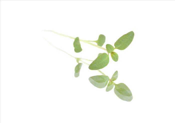 Micro Thyme (Pnt 30G)