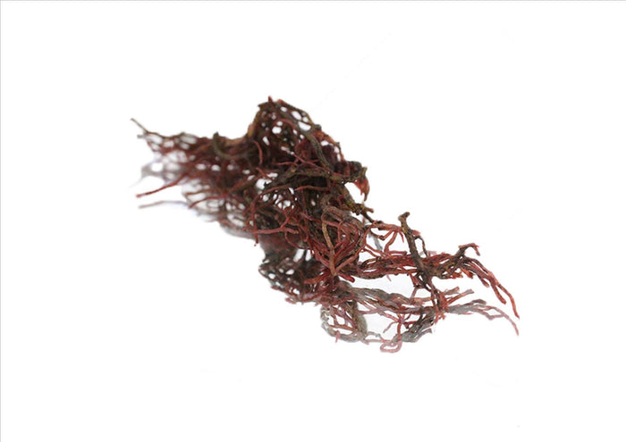 Red Seaweed (Gracilaria) (Pnt)