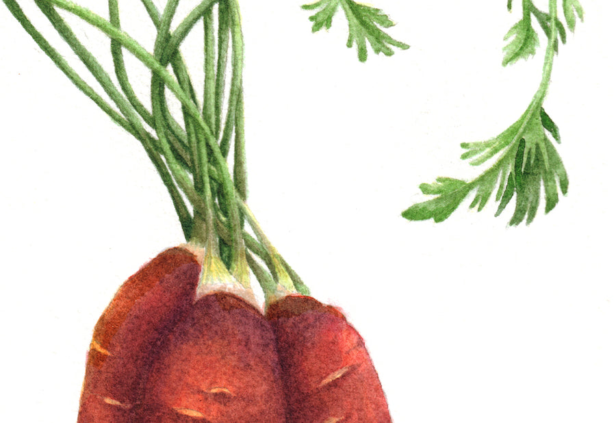 Heirloom Purple Carrot painting closeup