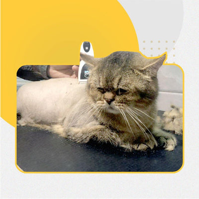 Lion Cut Package (RM135 - RM175) - Catzonia