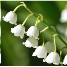Fragrance - Muguet