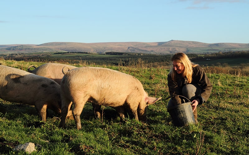 organic farms are not yet struggling with the pig cull in the uk, organic british pork