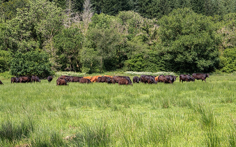 organic grass fed beef from uk farms, british beef from eversfield organic