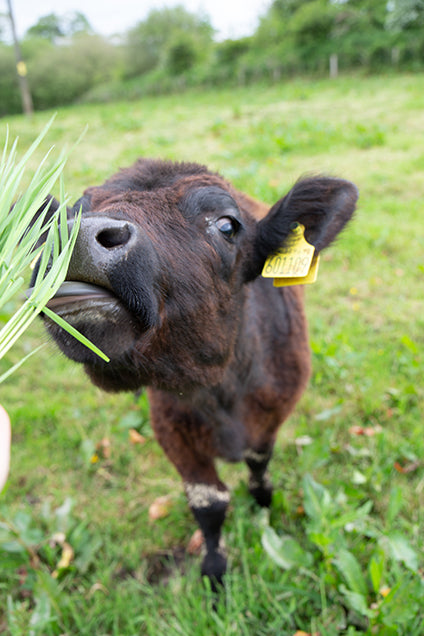organic grass fed cattle from native breeds on organic farm