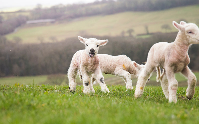 organic grass fed lamb, organic meat delivery uk