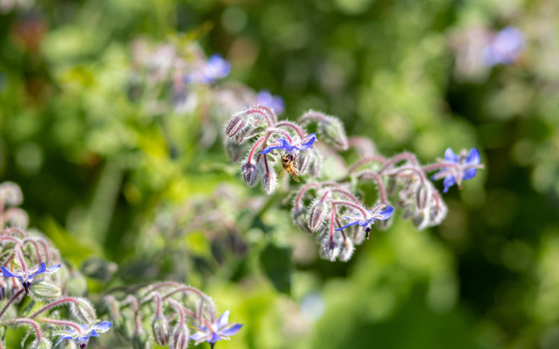 Organic wildlife at our market garden, including bee-friendly plants