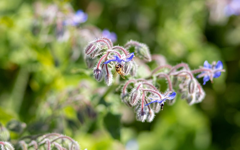 National Honey Bee Day 2021 save the bees with organic farming