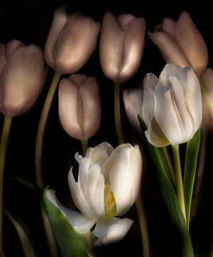 Load image into Gallery viewer, Tulip Glow