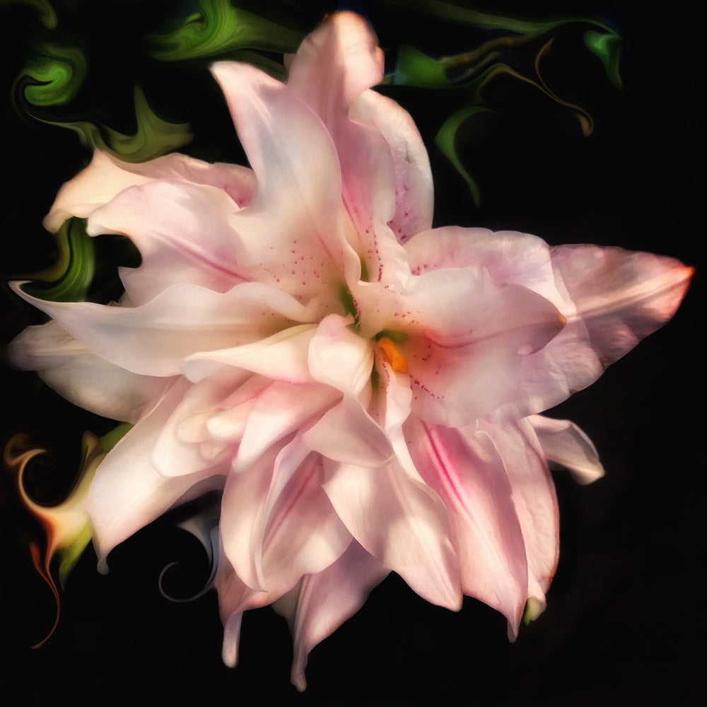 Load image into Gallery viewer, Night Lily