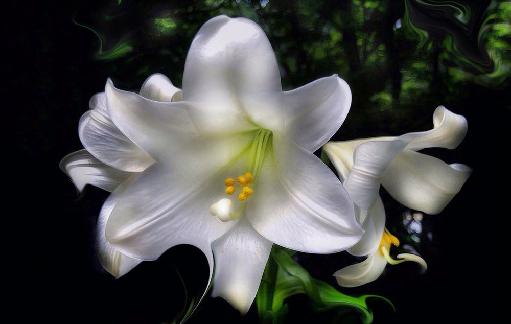 Tricia's Lily