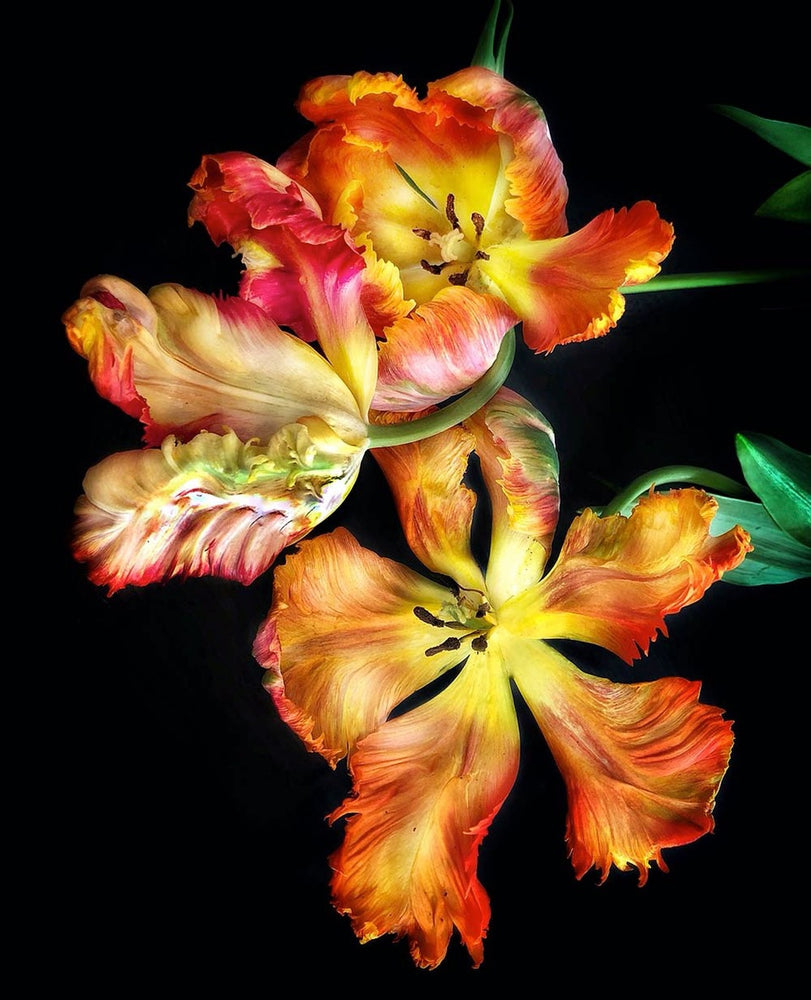 Load image into Gallery viewer, Parrot Tulip Trio