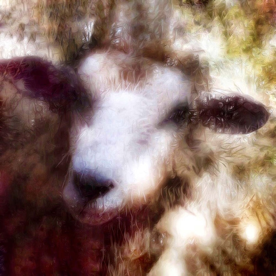 Sheep Reflection