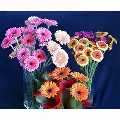 colorful mini gerberas