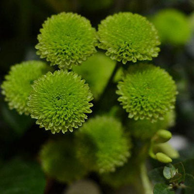 green button chrysanthemums